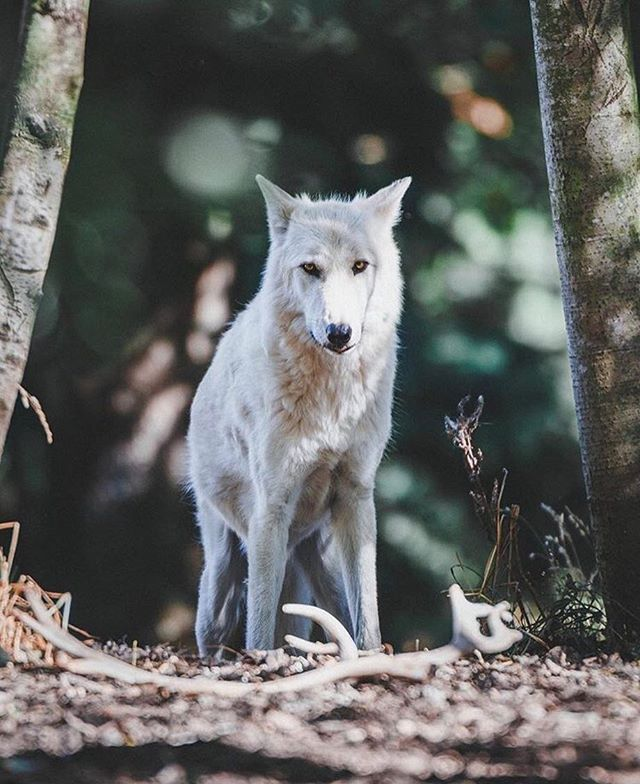 Is There Anything More Stunning Than A Conversation With A Wolf Thank You For Sharing This Beautiful Momen Woodland Park Zoo Woodland Park Nature Photography