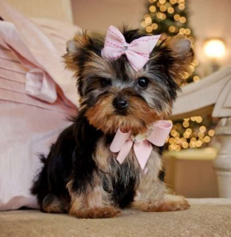 Yorkshire Terrier Energetic And Affectionate Puppies Pinterest