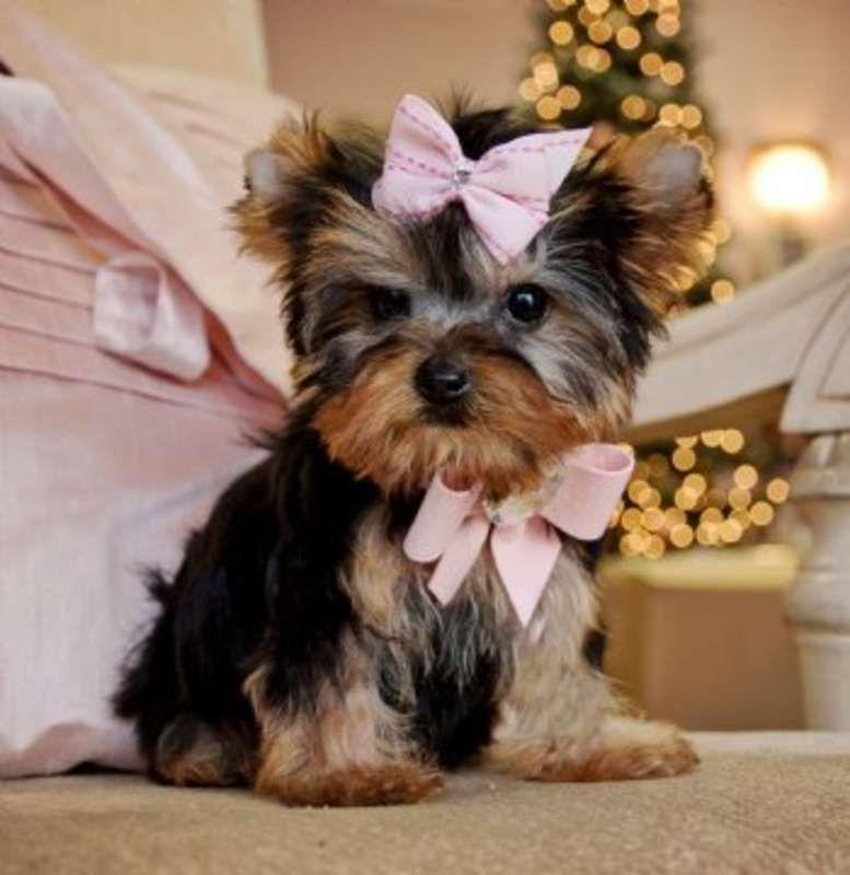 Akc T Cup Toy Male Female Yorkshire Terrier Puppies In San Antonio Texas Hoobly Classifieds Mascotas Bonitas Perros Y Bebes Mascotas