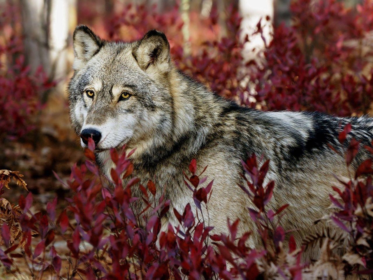 Autumn Wolf Wallpaper 1280x960 Animals Pinterest