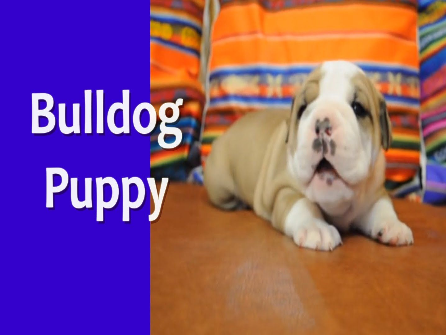 Bulldog Puppy Cuteness Overload Bulldog Puppies Cute Puppies