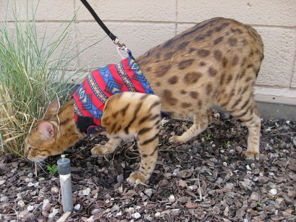 9 Cute Savannah Cat On Leash in 2020 Cat leash, Savannah