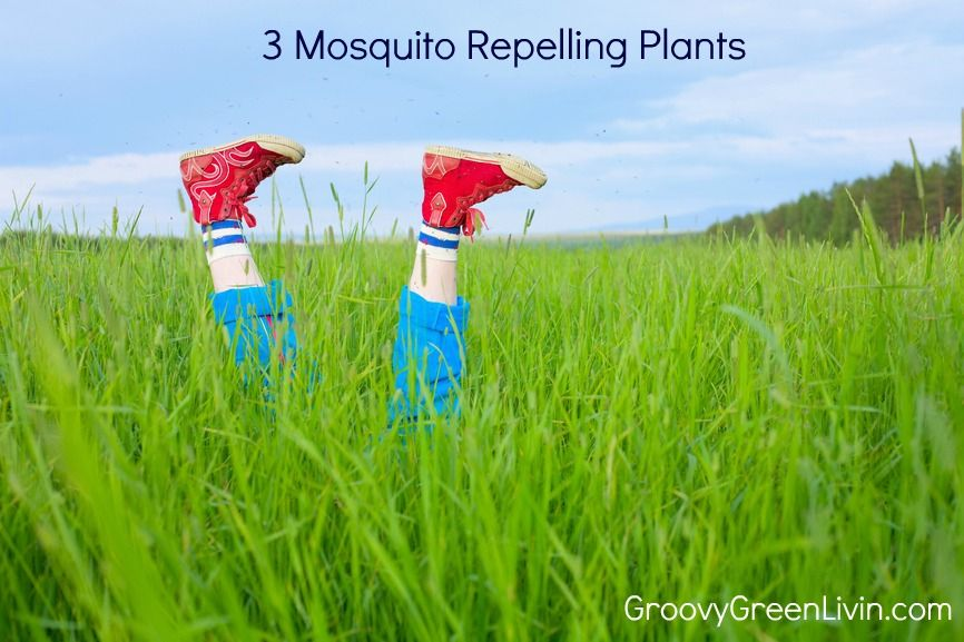 Groovy Green Livin 3 Mosquito Repellent Plants