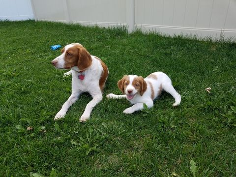 Brittany Puppy For Sale In Rigby Id Adn 44157 On Puppyfinder Com Gender Female Age 8 W Puppies For Sale Brittany Puppies For Sale Brittany Spaniel Puppies