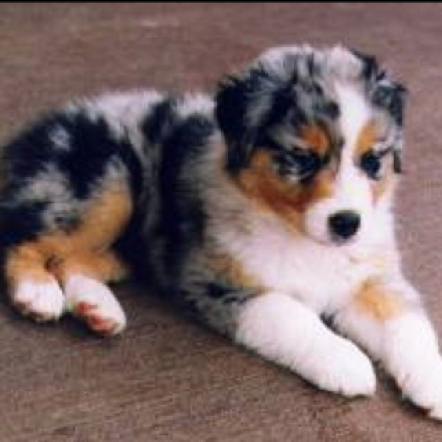 Australian Shepherd Bernese Mountain Dog Mix Please Niedliche Welpen Hunde Fotos Susse Tiere