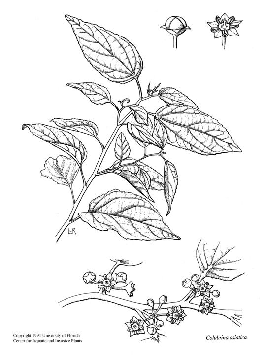 For a tattoo? #camellia sinensis