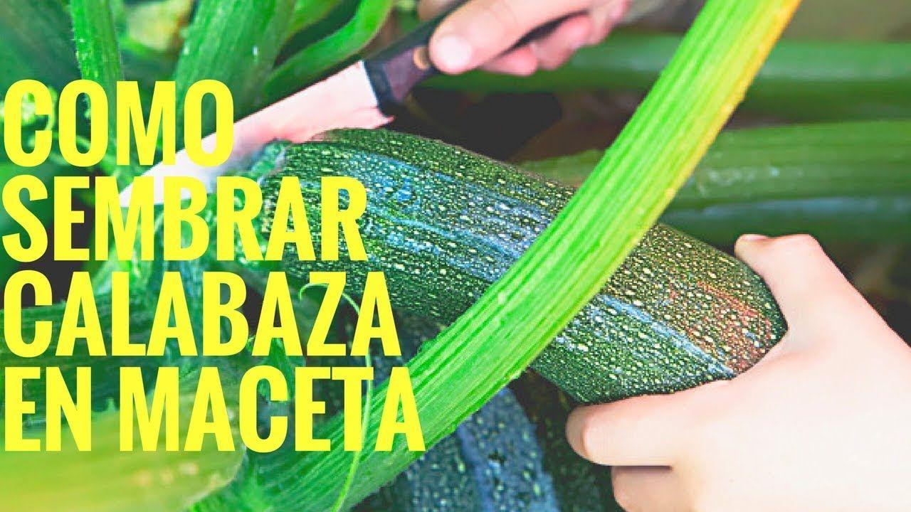 Como Sembrar Calabaza En Maceta Huerto En Casa Manos De Tierra Cultivo De Calabaza Plantar Calabazas Como Cultivar Calabazas