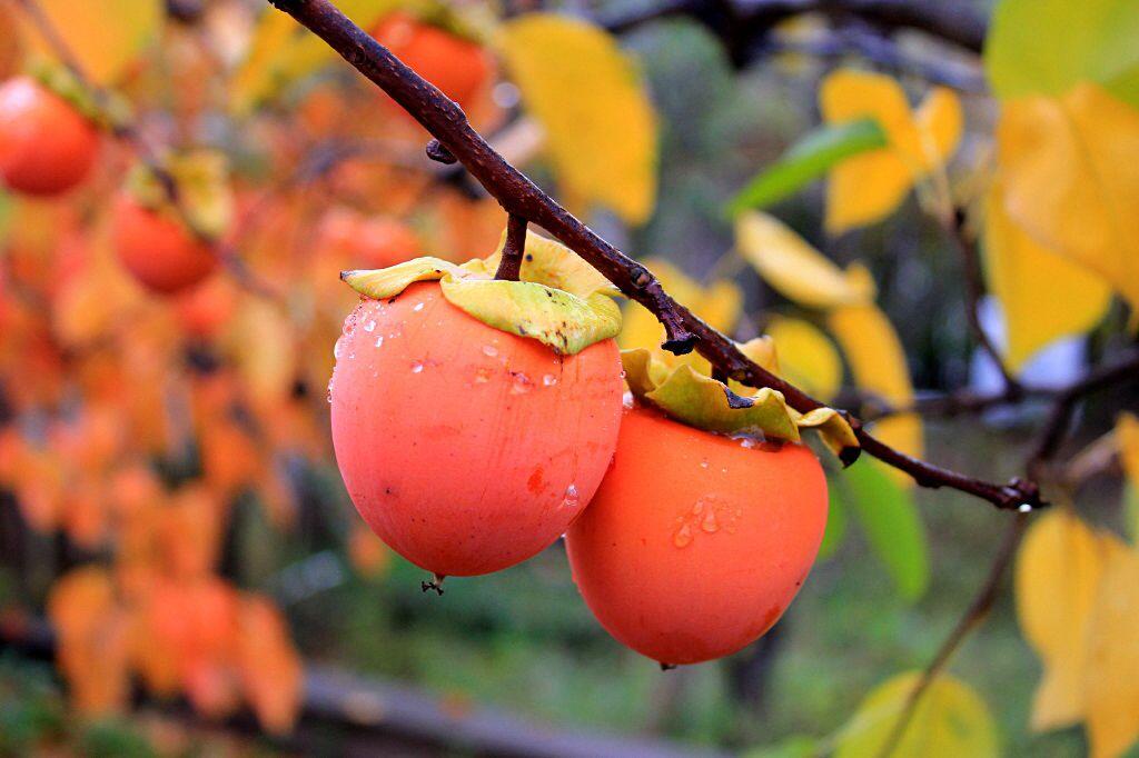 가을.... 뒤뜰에 열린 연시가 빗방울에 샤워를 한뒤 아침을 맞이하고 있다.
