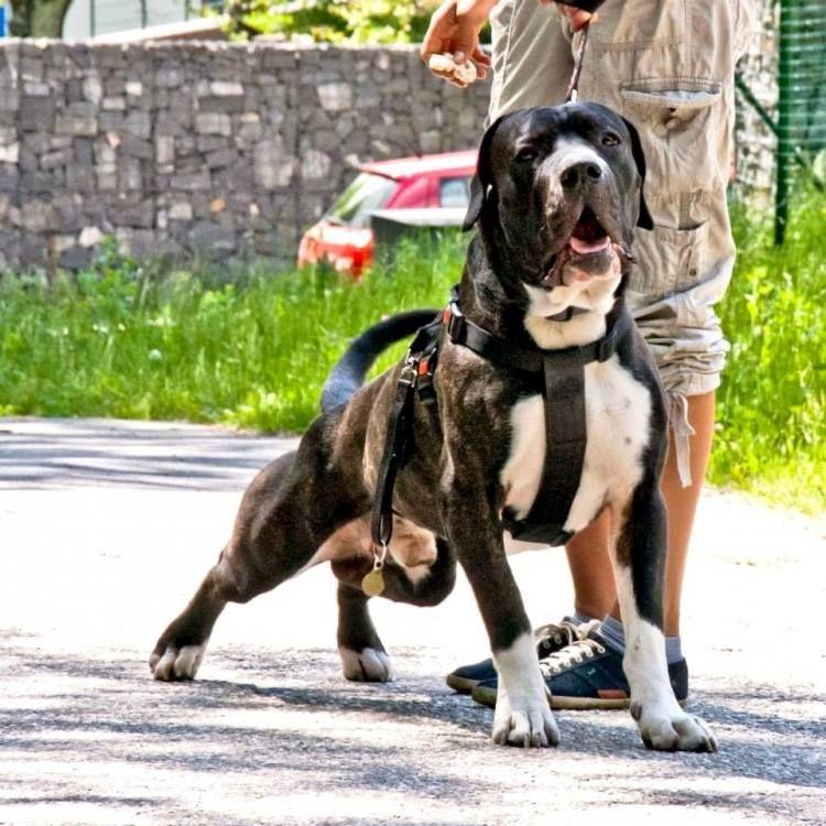 Dogo Argentinos Dog Argentino Dogs Bully Dog