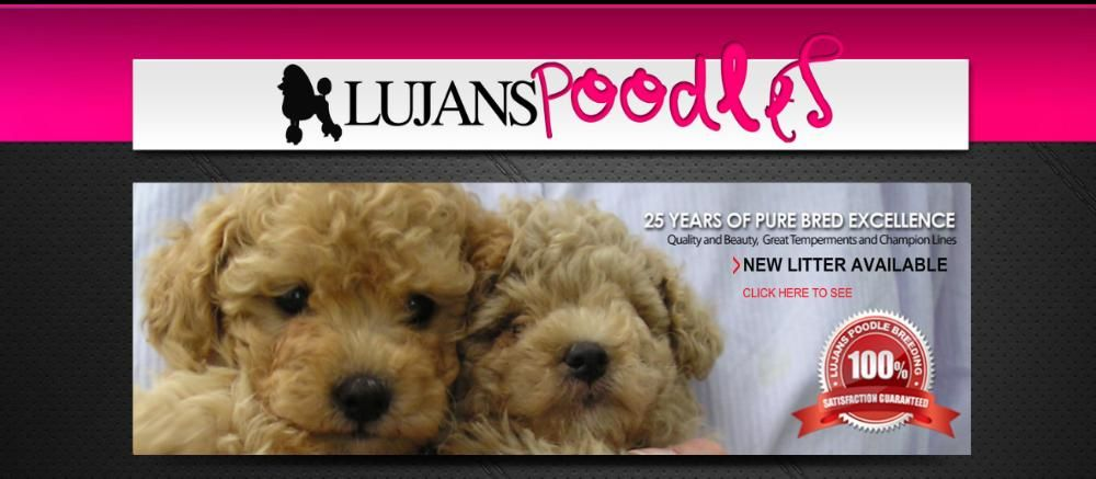 Lujans Poodles Poodle Puppies For Sale On Long Island New York