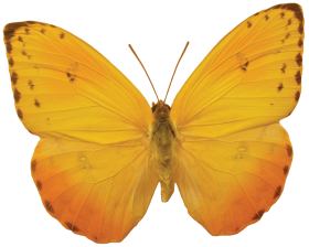 Butterfly Png Image Free Picture Download Orange Butterfly Butterfly Png Images