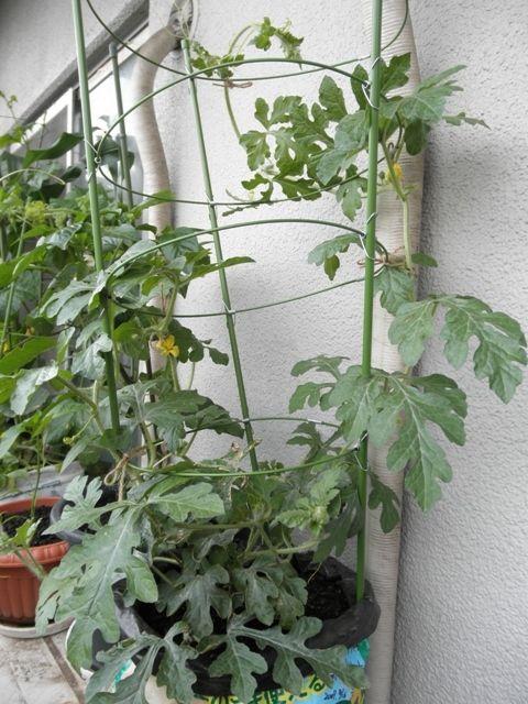 小玉スイカの育て方 スイカ 栽培 家庭菜園 プランター いちご 栽培