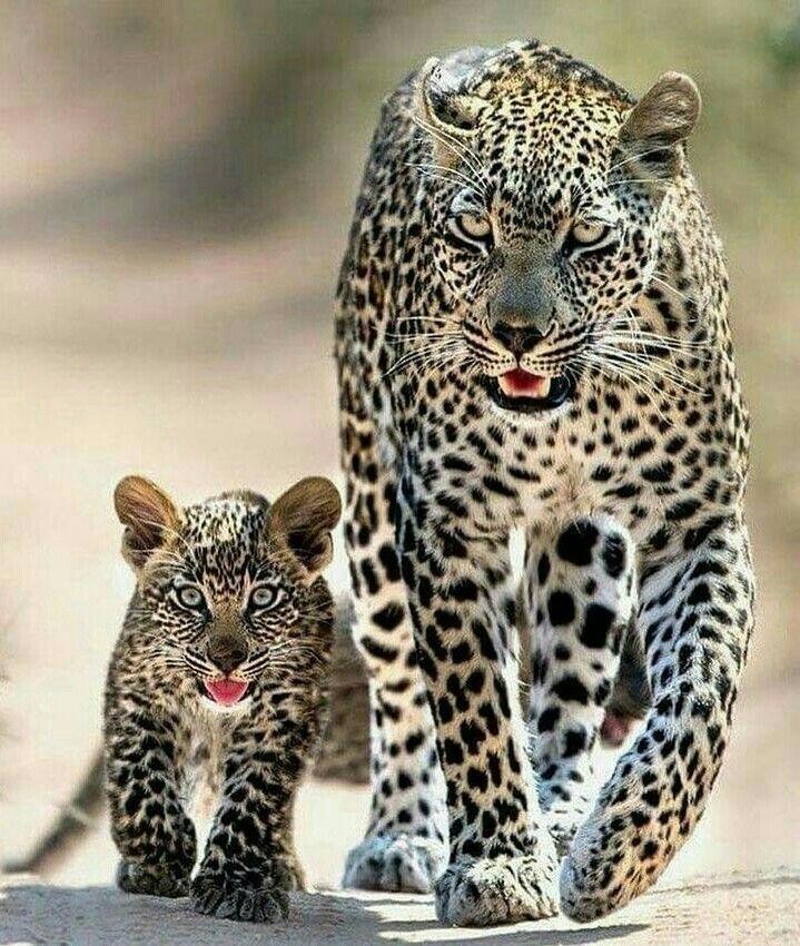 leopard katt husdjur