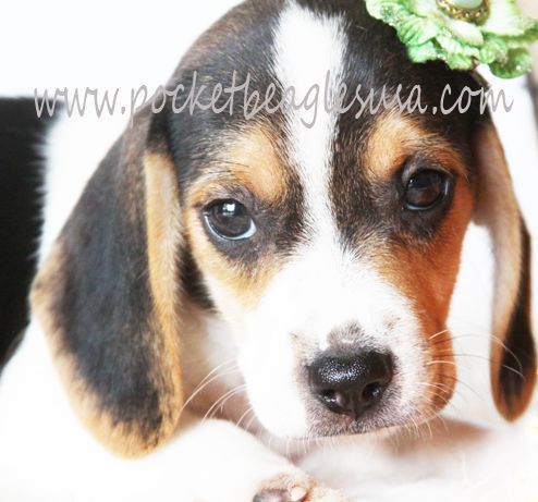 Wonderful Small Beagle Adorable Dog - ca849c5effe93eb2470933466746ab18  Photograph_586164  .jpg