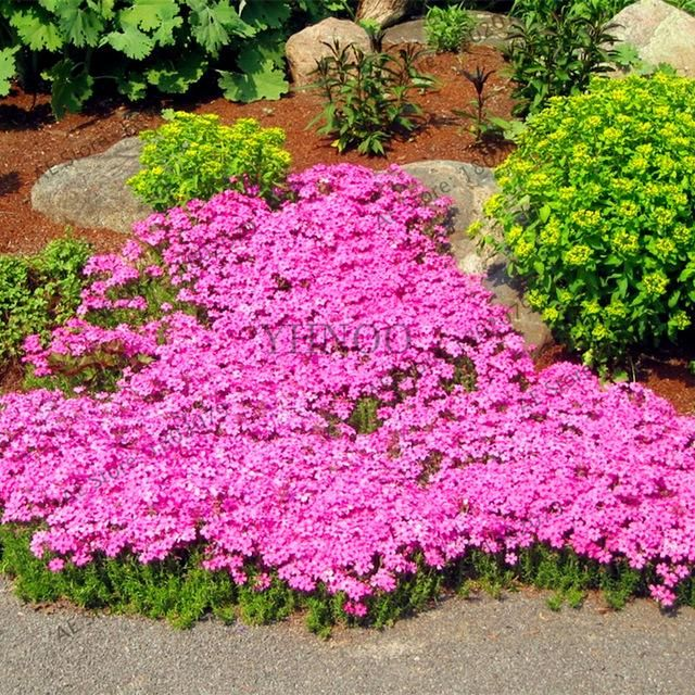 205pcs Rare Rock Cress Seeds Climbing Plant Creeping Thyme Perennial Ground Cover Flower For Home Garden