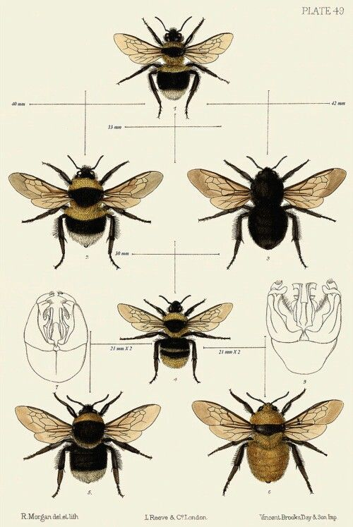 Bumble Bee Diagram Mr2 3sgte Wiring Insects Pinterest Illustration And Art