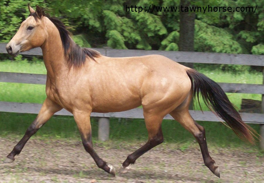 Buckskin Paint Horse Dusty Learn More About Horse Colours And Horse Colour Genetics At Http Www Tawnyhorse Com Horses Horse Painting Horses For Sale