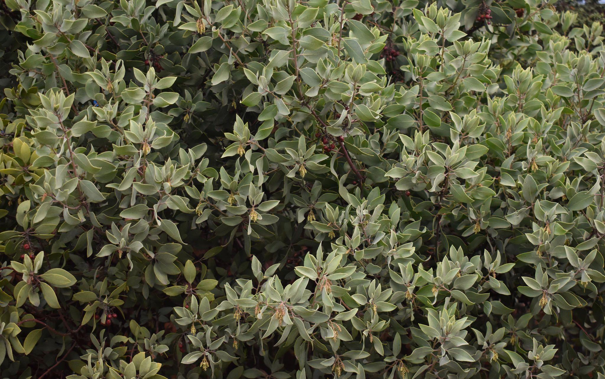 Arctostaphylos manzanita 'Mount St. Helena' Mount St