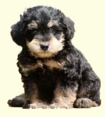 Mini Schnoodle Puppies For Sale Schnoodle Puppies For Sale