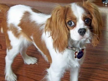 Cavalier King Charles Spaniel Haircut Penelope The Cavalier King Charles Spaniel Puppies King Charles Cavalier Spaniel Puppy King Charles Dog King Charles