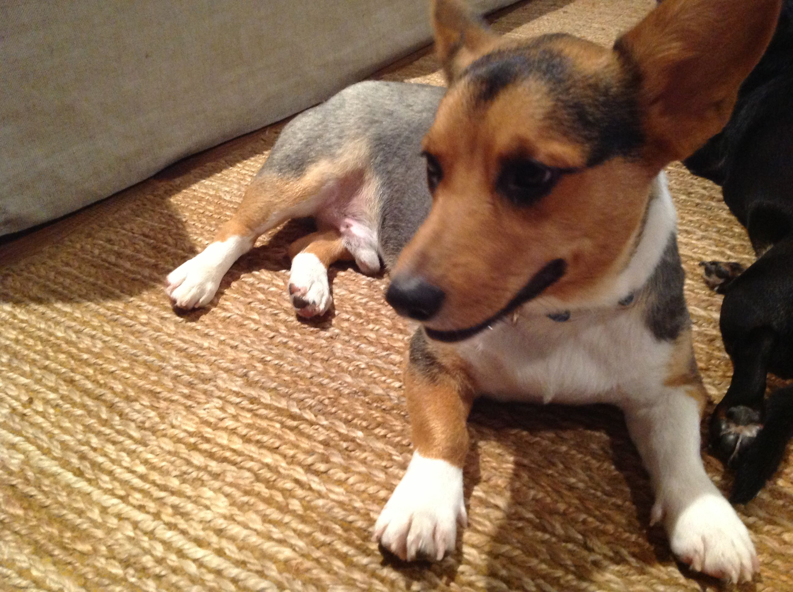 Shaved Corgi Pets Pinterest Dogs Pets And Animals