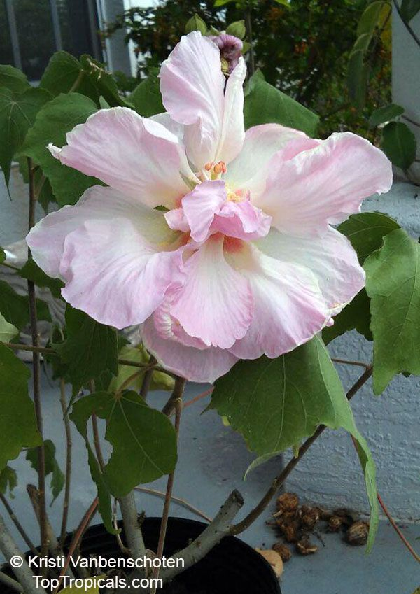 Hibiscus Mutabilis Confederate Rose Cotton Rose Common Rose Mallow Hibiscus Flower Pots Flower Garden
