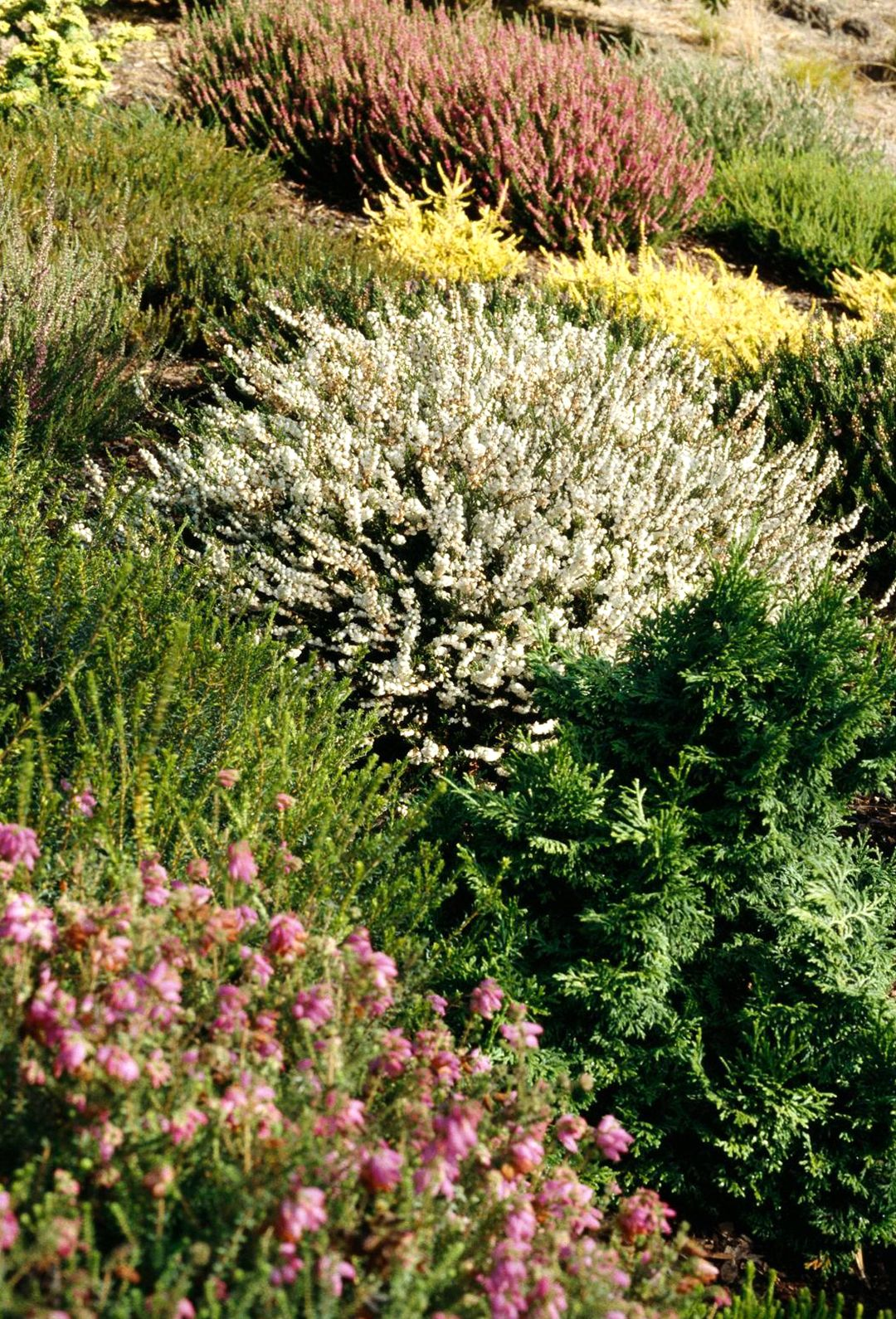 All About Growing Heathers And Heaths In The Garden Winter Garden Heather Plant Garden Trees