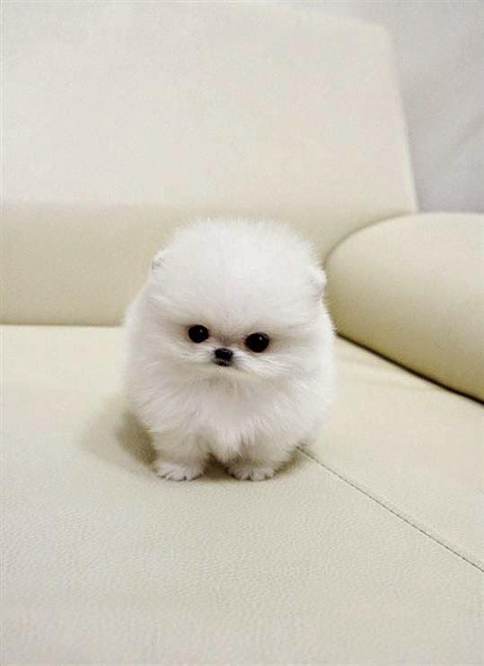 Gest Fluffy Dog Breed