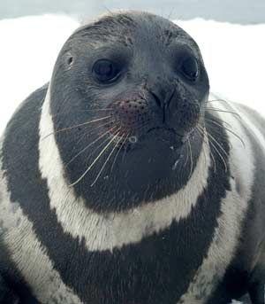 Ribbon seal, via NOAA