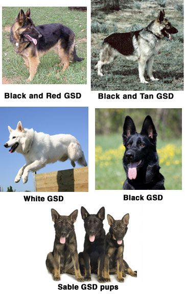 German Shepherd Coat Colors Sable German Shepherd German