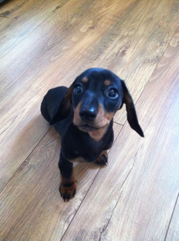Too Cute Dachshund Dachshund Cute Dogs