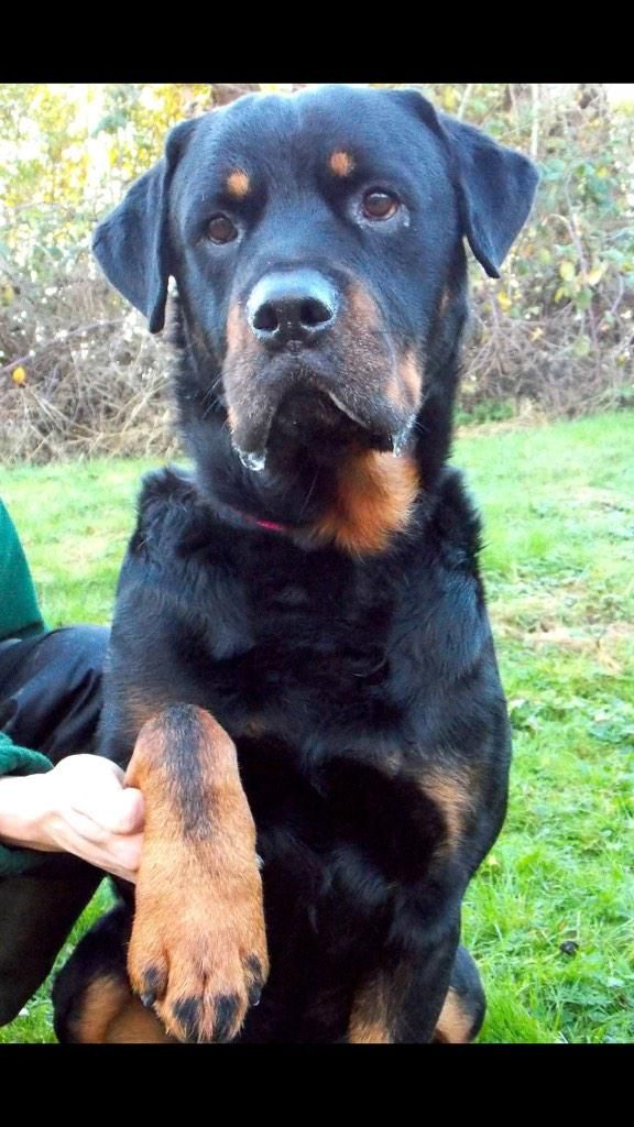 Anyone need a Bear in their life? Beautiful Bear - needs to be only dog in family and with older kids as he bouncy x