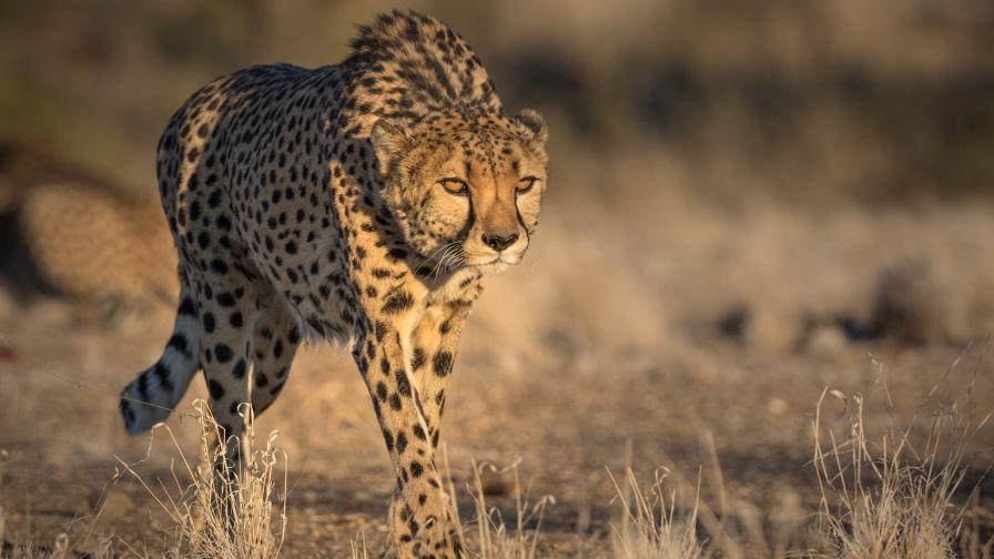 Cheetah Wildlife Hd Wallpapers Hd Download Animals Animal Wallpaper Cheetah