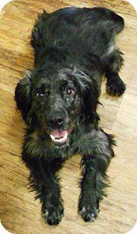 Denver Co Irish Setter Cocker Spaniel Mix Meet Cutty A Dog For Adoption Dog Adoption Kitten Adoption Cocker Spaniel Mix
