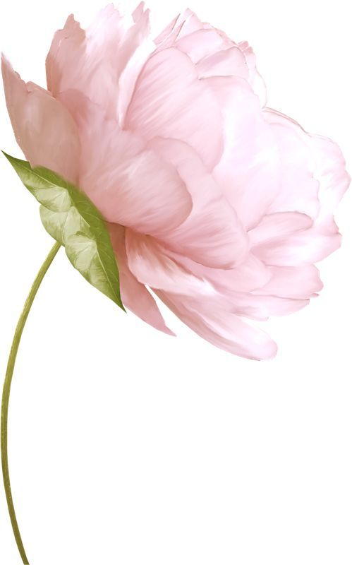 Pin by debbie carter on pink perfection pinterest flowers peony draw mightylinksfo Images