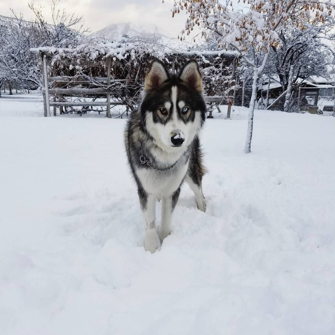 Pin by Alexa Grey on Dogs Lover Akita puppies, Snow dogs