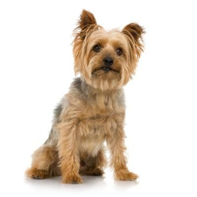 Silky Terrier Yorkie Differences