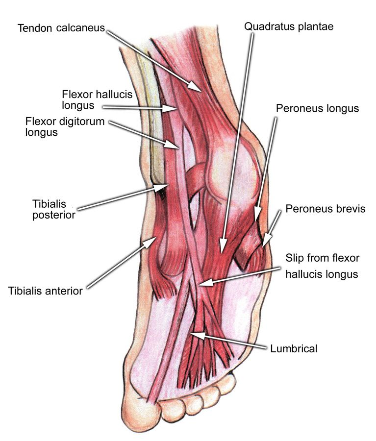 Athletic Foot Injuries | PT: Anatomy | Pinterest | Músculos ...