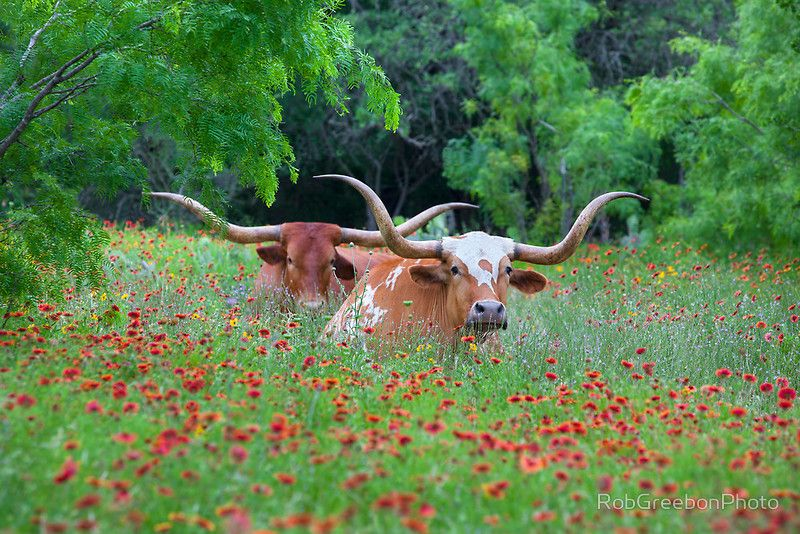 "Longhorns in a Field of Texas Wildflowers 1"" greeting card by Rob Greebon. Description from fineartamerica.com. I searched for this on bing.com/images"