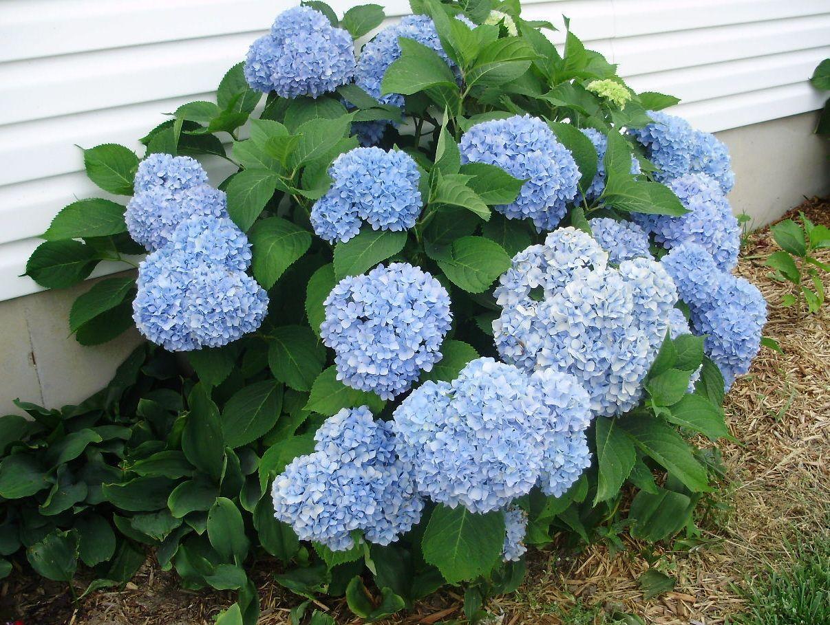 Blue Hydranga bush in my flower garden
