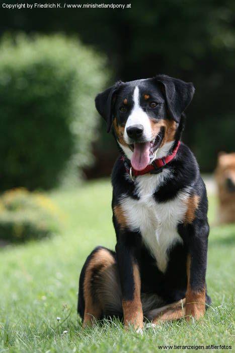 Appenzeller Sennenhund Sennenhund Entlebucher Sennenhund Appenzeller Hund