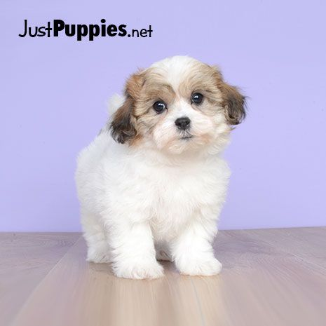 Puppies For Sale Orlando Fl Current Inventory Puppies For Sale Puppies Yorkie Puppy