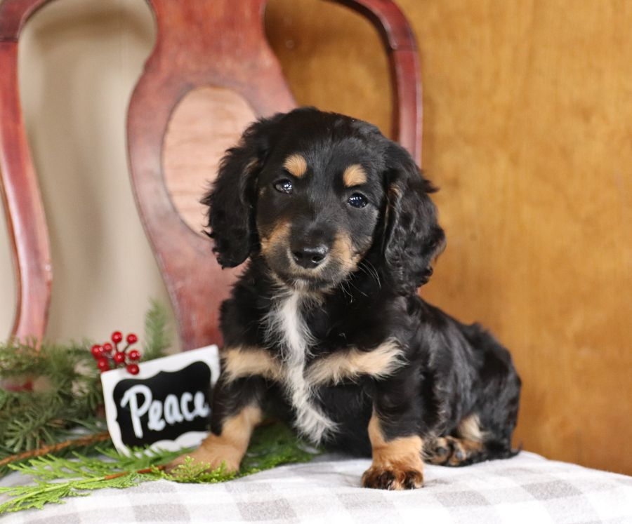 Dachshund Puppies For Sale Lancaster Puppies Dachshund Puppies Dachshund Love Dachshund Puppies For Sale
