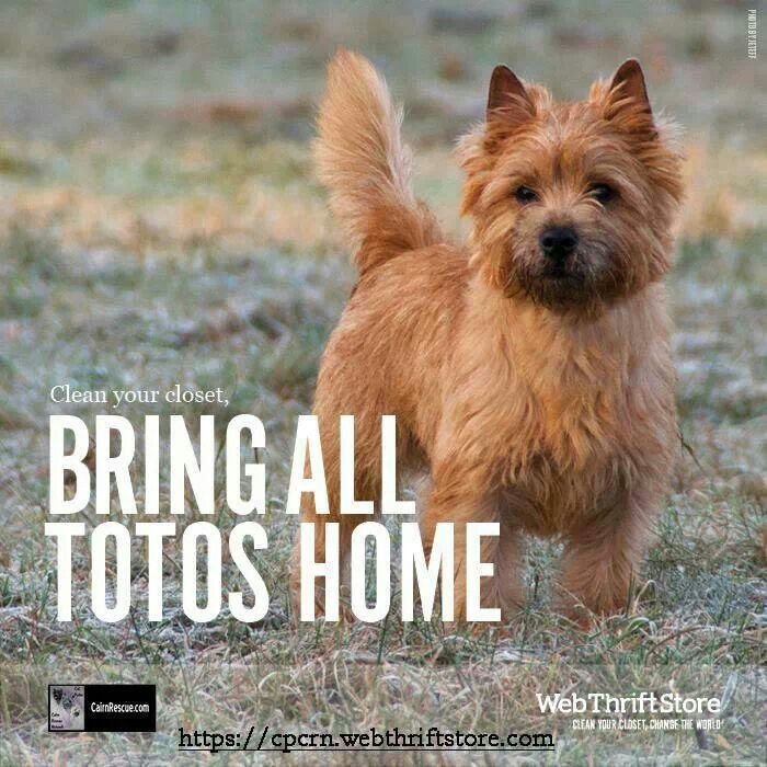 Bring All Totos Home Dogs Pets Cairnterriers Facebook Com Sodoggonefunny Norwich Terrier Cairn Terrier Terrier