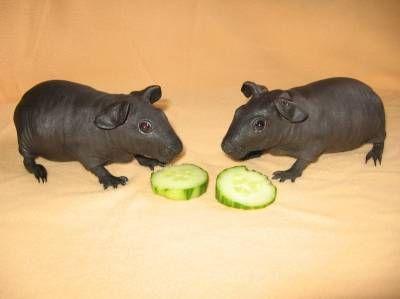Pin op Guinea pigs