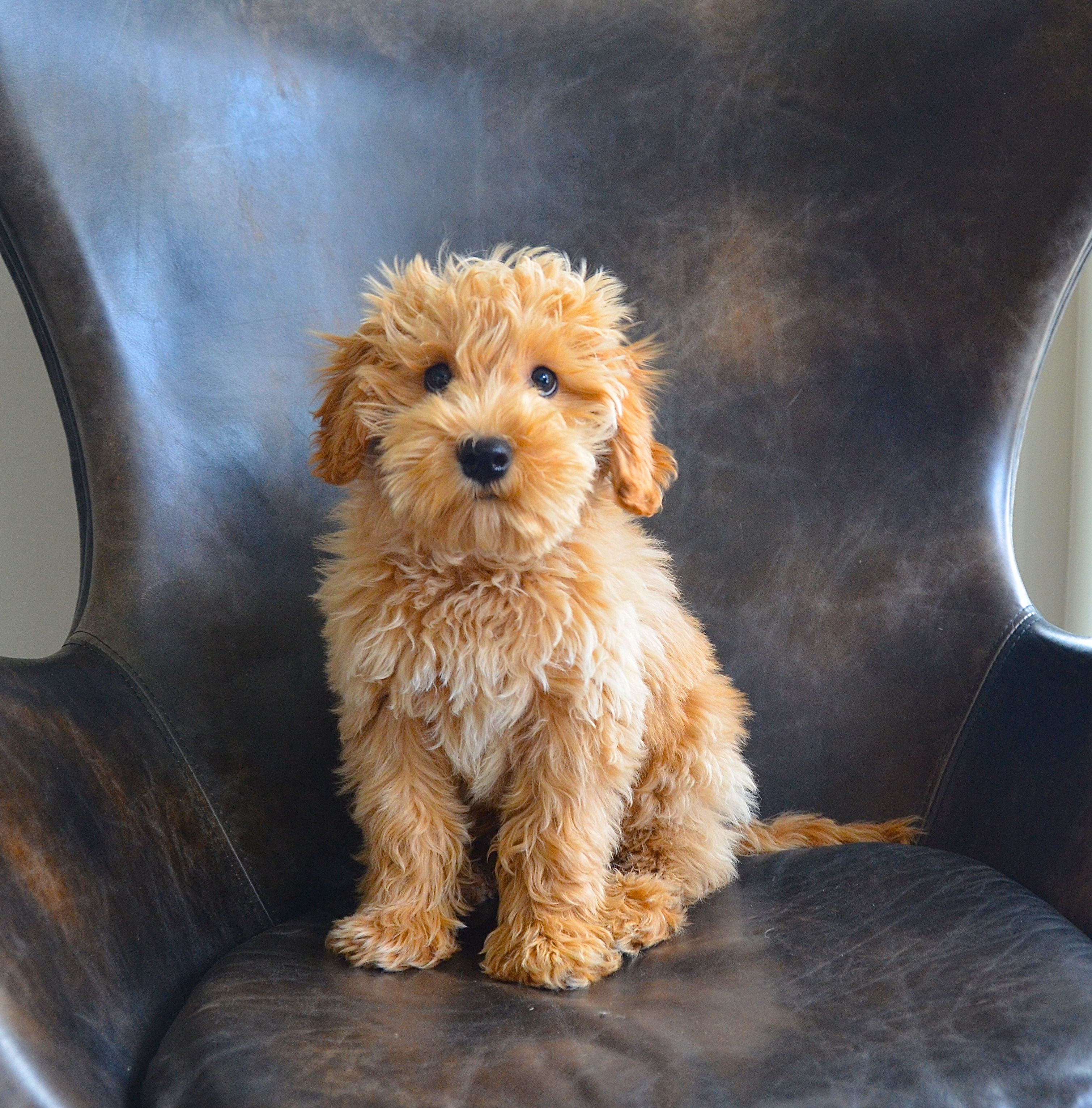 labradoodle puppy puppies pinterest labradoodle animal and dog