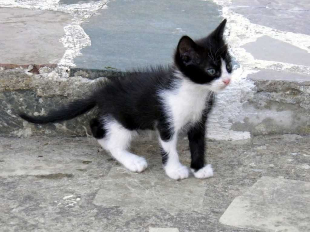 The Tuxedo Cat Breedsofcats Catbreeds Tuxedocat Cat Breeds Cats Tuxedo Kitten