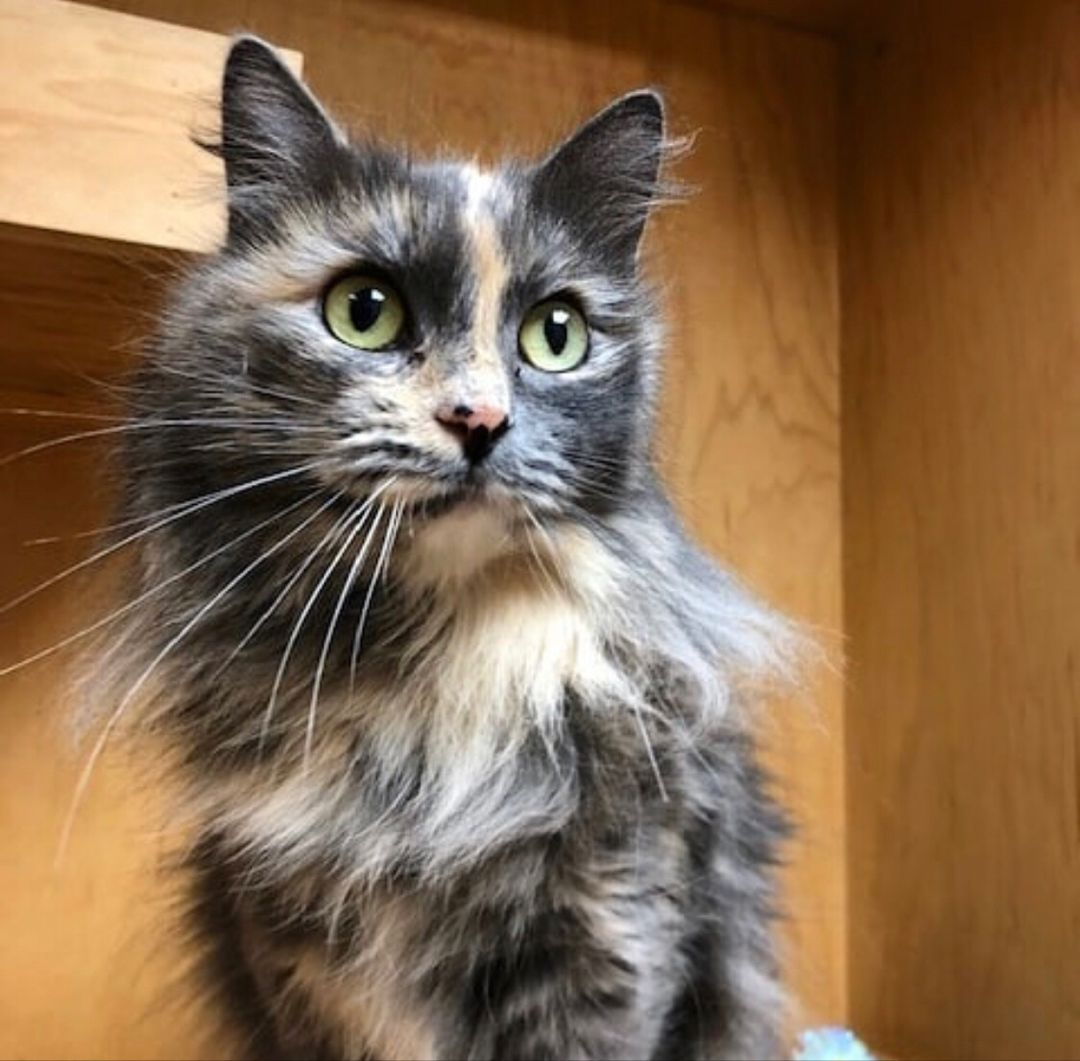 MELODY 💕 is an absolutely stunning dilute tortie at