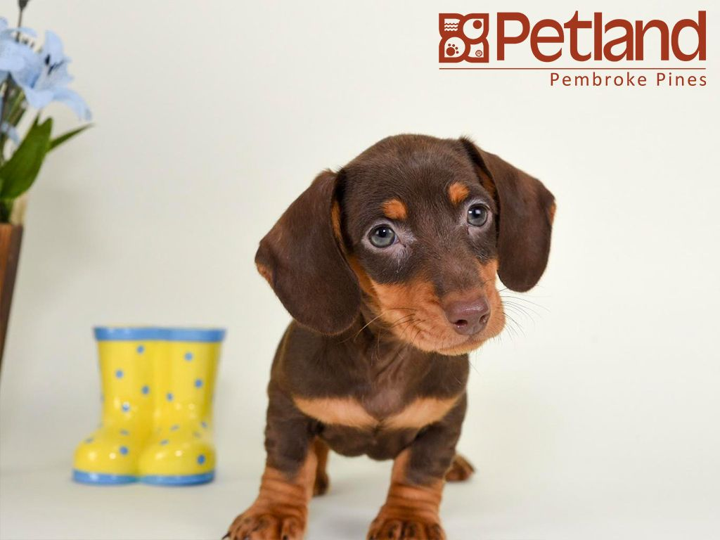 Puppies For Sale Puppies Dachshund Cute Dogs