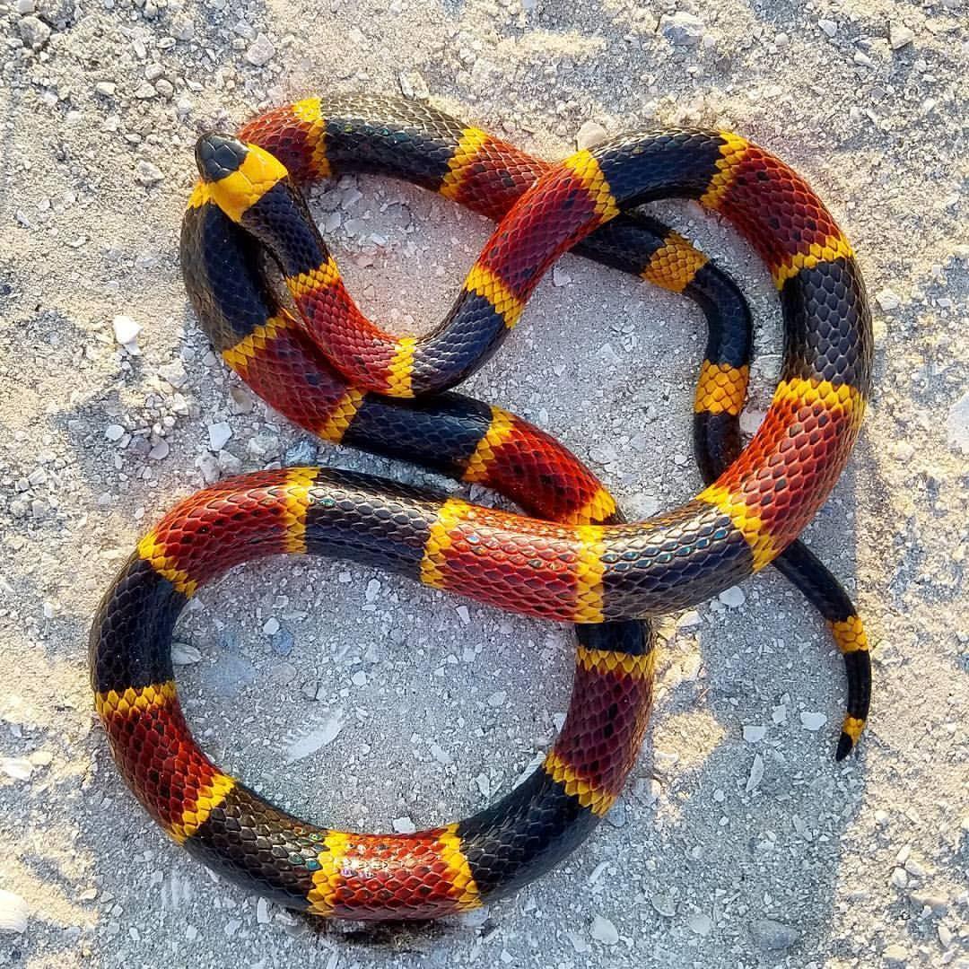 Eastern Coral Snake Micrurus Fulvius Credit Trent Adamson Coral Snake Snake Pet Snake